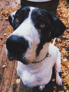Adoptable Danes   Kentucky Great Dane Rescue
